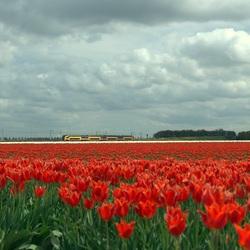 rode bloemen met trein