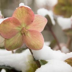 helleborus in de sneeuw