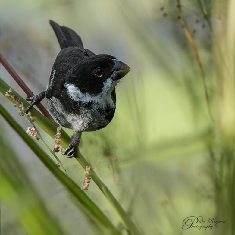Bont dikbekje - Nog een vogeltje uit Suriname<br /> <br /> Gr<br /> <br /> Peter