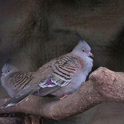 Duifjes????? Crested Pigeon (Ocyphaps lophotes)
