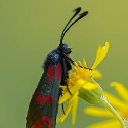 Sint Jansvlinder