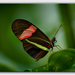 Rode passiebloemvlinder