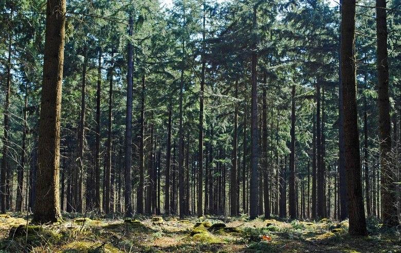 Hoge bomen - Hoge bomen in Boswachterij Dorst