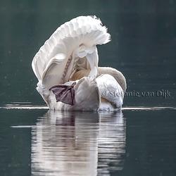 Gracieuze-Witte-Zwaan