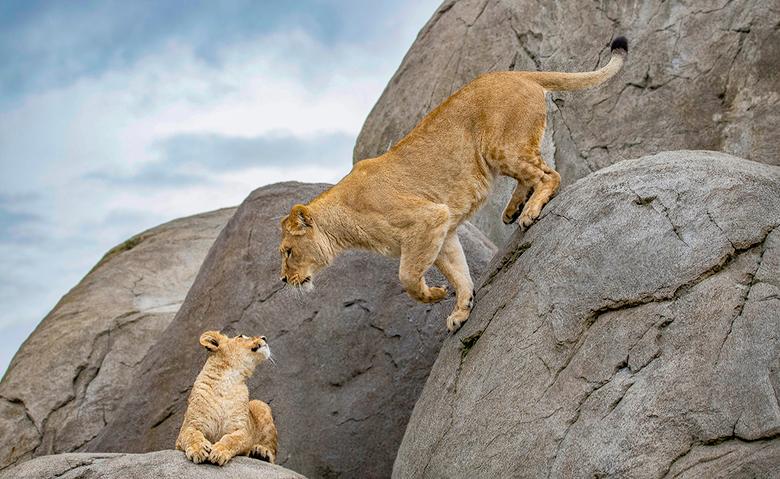 Leeuwenwelpje met moeder - In Wildlands zijn twee jonge leeuwenwelpjes te bewonderen. Ontzettend leuk om naar te kijken en daarnaast erg fotogeniek!