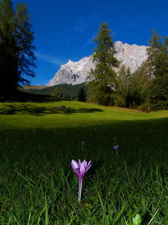 Wettersteingebirge - Bonte krokus (Crocus vernus albiflorus) in alpenweide zuid-oost van Ehrwald met Wettersteingebirge op de achtergrond in Oostenrij