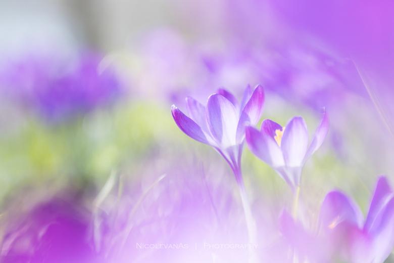 Purple. - Vorige week was het uitzonderlijk warm en mooi weer.  's Morgens in het park een heel veel met paarse krokusjes, tegenlicht gebruikt en