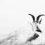 zwart-wit geit