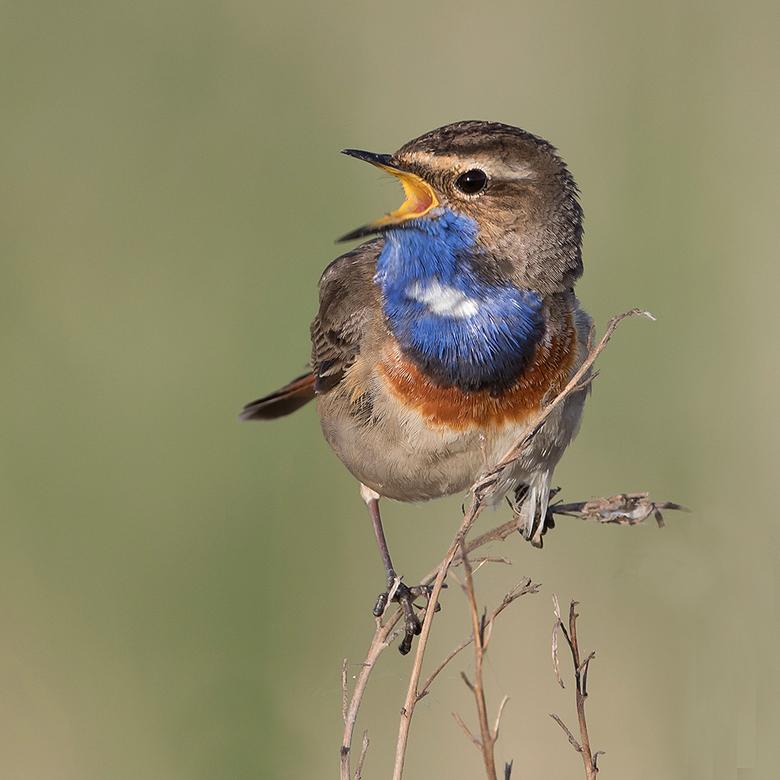Hij zingt het hoogste lied! - Vorig weekend dit prachtige mannetje Blauwborst kunnen fotograferen, die erg zn best deed met zn zang.<br /> <br /> ie