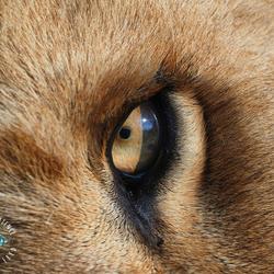 Oog van een jonge leeuw