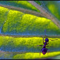 Mier op een blad