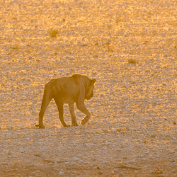 Leeuw bij zonsondergang