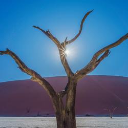 Sossusvlei Acacia tree