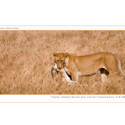 Lion with prey II