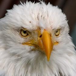 Vogel serie 263. zeearend.