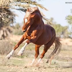 berber hengst in tunesië