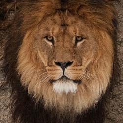 Leeuw Cesar