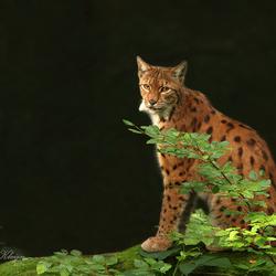 Lynx in Bayerischer Wald