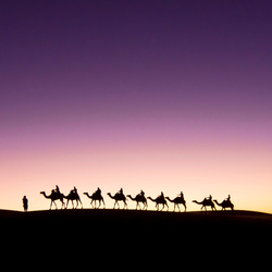 Camels by Dawn