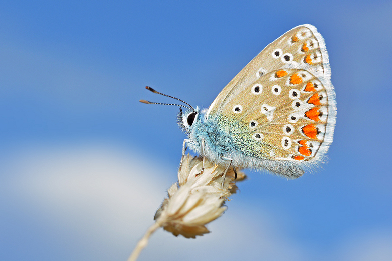 Blauw - Dit Blauwtje gisteren gefotografeerd, waar ik heel blij mee ben!