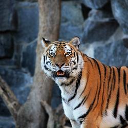 Sibirische tijger