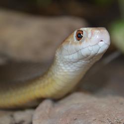 Oxyuranus Microlepidotus (Taipan)