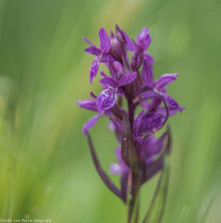 Wilde Orchidee - De wilde Orchidee, ook die kom je tegen in de Oostenrijkse bergen. Genomen met mijn Helios lens.