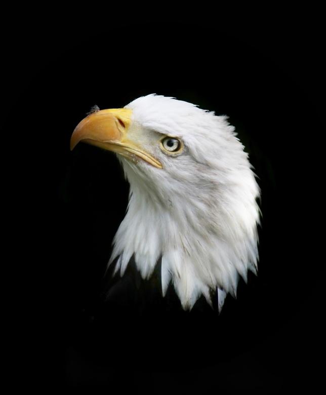 Bald eagle -