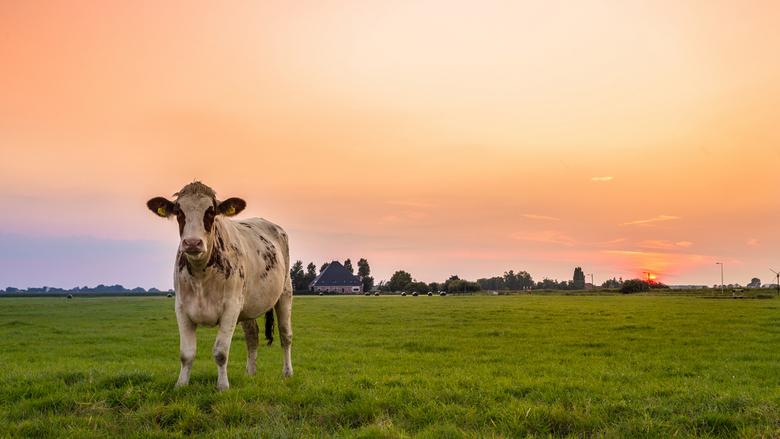Zonnig koetje - Nieuwsgierige koe kwam een kijkje nemen terwijl ik de zonsondergang aan het vastleggen was. Achteraf was die nog heel fotogeniek ook <