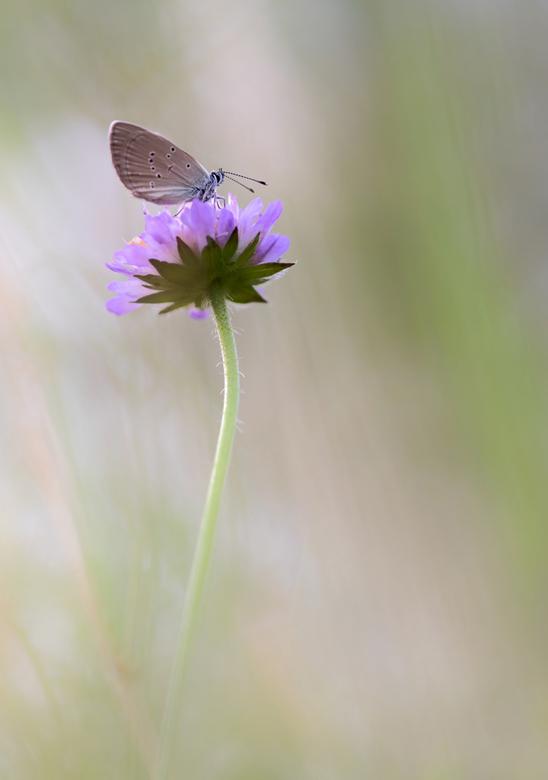 Giant little dwarf - Vorig jaar ook weer dit kleine vlindertje kunnen fotograferen, het Dwergblauwtje. Met slechts 9 mm qua grote, is het een van de k