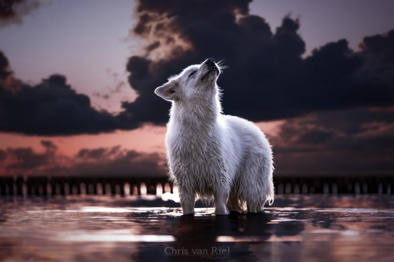 De witte wolf -