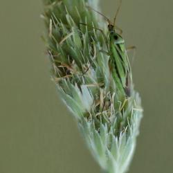 grote bonte graswants LO0A6149