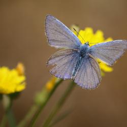 Gehavend Icarusblauwtje