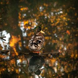 Avondzon, herfstkleuren, weerspiegeling in het water. Meer was er niet nodig om deze eend te laten schitteren ❤️