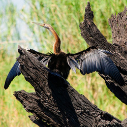 Afrikaanse slangenhalsvogel
