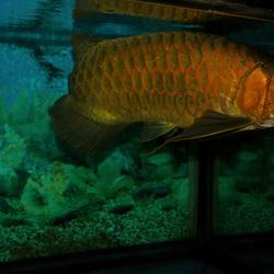 Grote vis