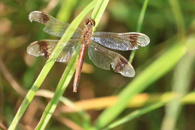 Even uitrusten in de zon - Het viel niet mee om libelles goed op de foto te krijgen maar deze bleef in ieder geval even op dezelfde plek, lekker in he