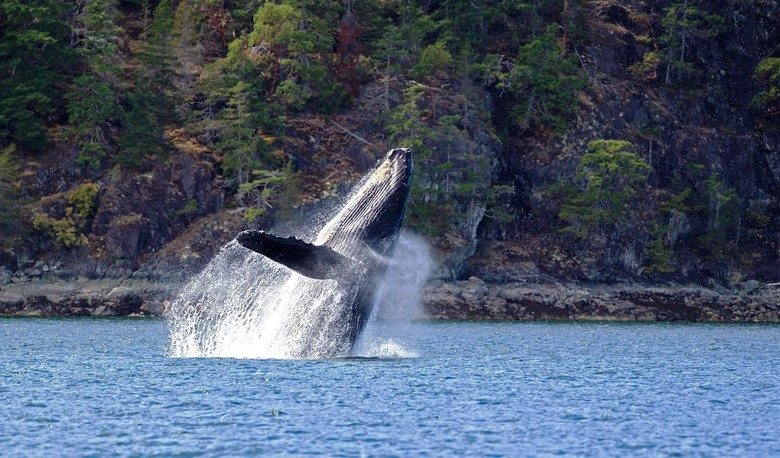 Campbell River Vancouver Island - tijdens een excursie bij Vancouver Island zagen we deze schitterende walvissen meerdere keren uit het water springen