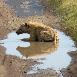 Badderende hyena