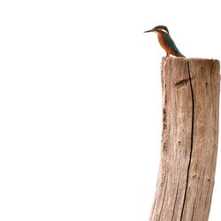 Ijsvogel op de uitkijk