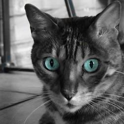 kat met alleen kleur in de ogen