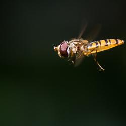 Zweefvlieg tegen donkere achtergrond