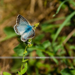 papillon small.jpg