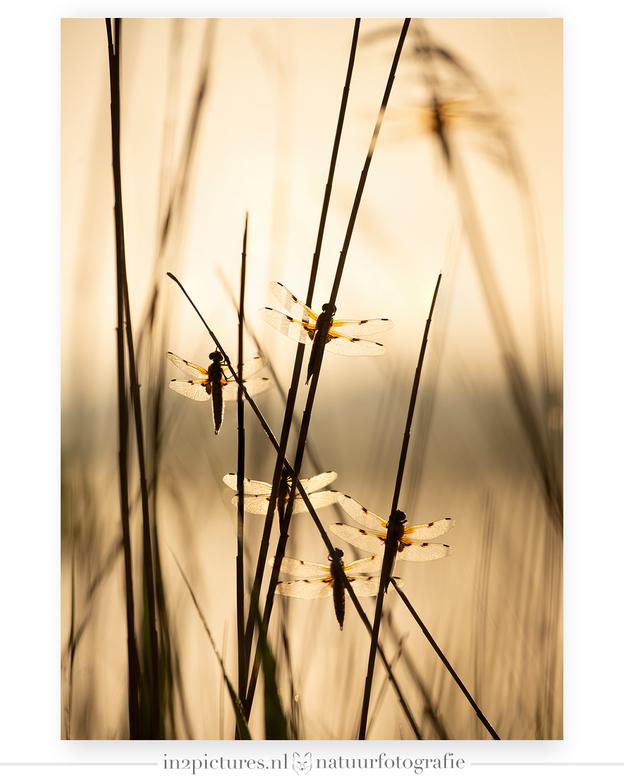 Vijf Viervlekken... - Vanochtend heel vroeg in de Wieden / Weerribben net na zonsopgang zaten deze vijf viervleklibellen op mij te wachten om vereeuwi