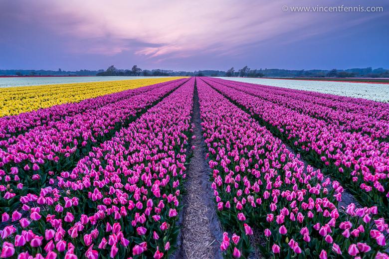 Lente in Nederland - Hier een opname van de prachtige tulpenvelden van Nederland in volle bloei