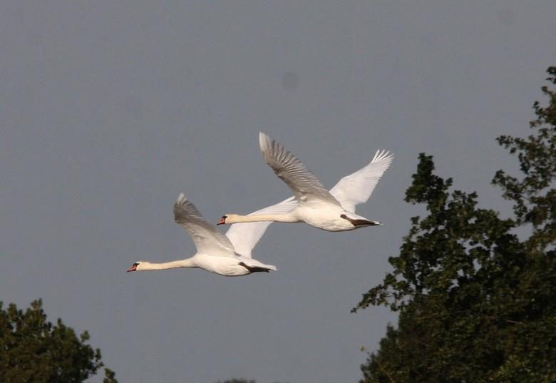 vliegende zwanen -