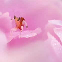 mooi roze....