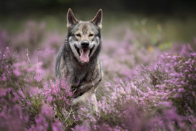 Wolfhond in actie op de heide -