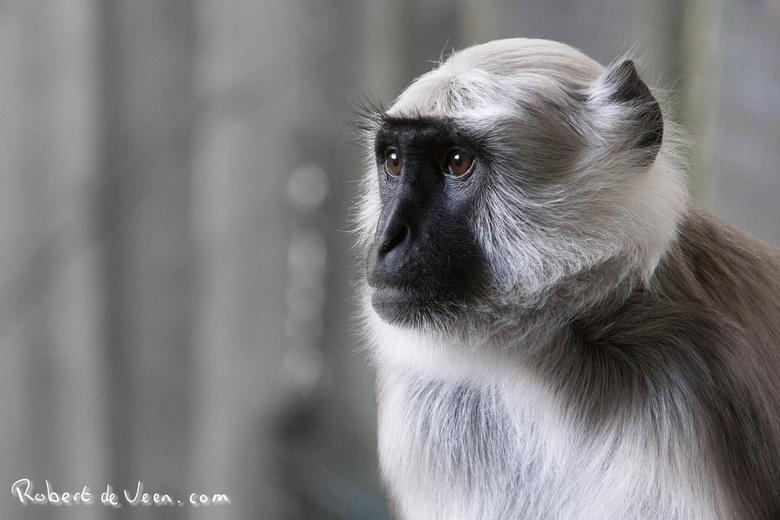 Hanuman Langoer -
