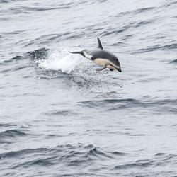 Vliegende dolfijn